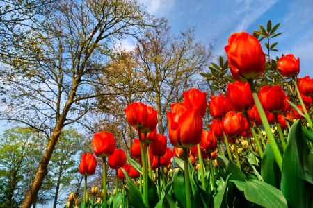 Group of red tulips on a background of forest  Spring landscape  Stock Photo - 18658504