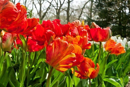 Group of red tulips in the park  Spring landscape  Stock Photo - 18658492