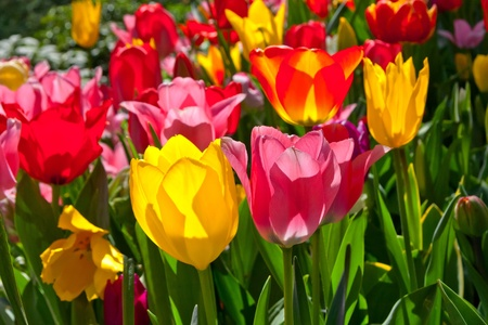 Colorful tulips in the park  Spring landscape  Stock Photo - 18658490