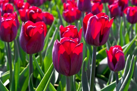 Group purple tulips  Spring landscape Stock Photo - 18658479