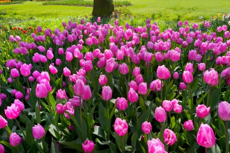Group purple tulips  Spring landscape  Stock Photo - 18658545