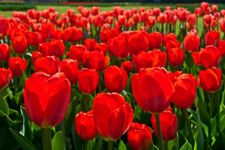 Group of red tulips in the park  Spring landscape  Stock Photo - 18658471