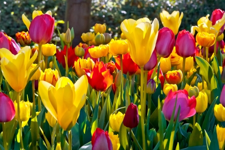 spring leaf: Colorful tulips in the park  Spring landscape  Stock Photo
