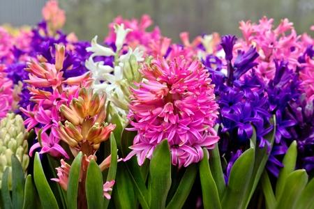 hyacinths: Group multicolored hyacinths  Spring landscape