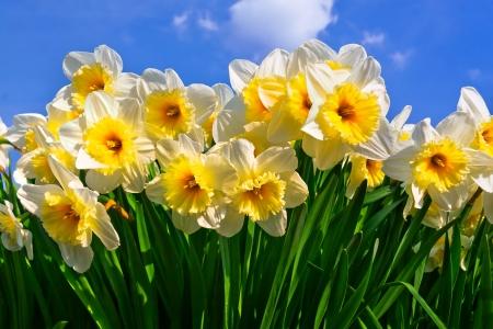 White Narcissuses skyline  Spring landscape
