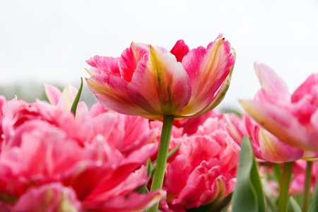 Group of pink tulips on a white background  Panorama  Spring landscape Stock Photo - 19005933