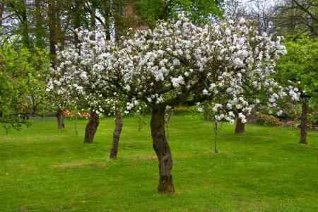 Apple blossom in the park  Spring landscape  photo