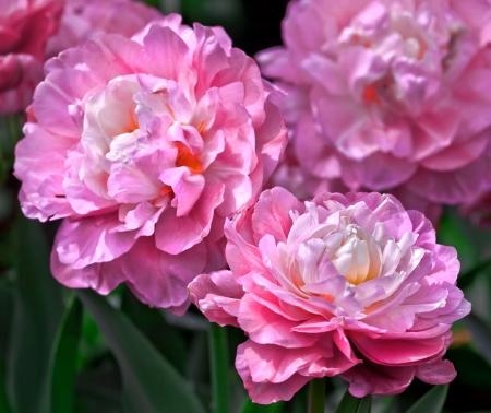pfingstrosen: Strauß rosa Pfingstrosen. Blumenmuster.
