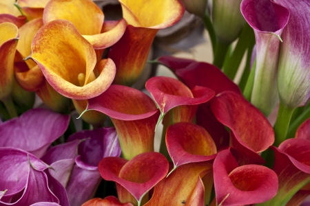 Bouquet of multicolored calla lilies. Floral pattern. Close-up. Abstract background.