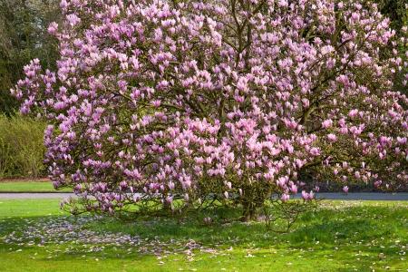 magnolia: Park on a sunny day. Blooming magnolia. Magnolia. Stock Photo