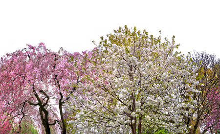 Blossoming cherry and apple trees. White background. photo