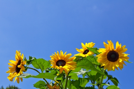 Sunflowers on a background of the sky. Summer landscape. photo