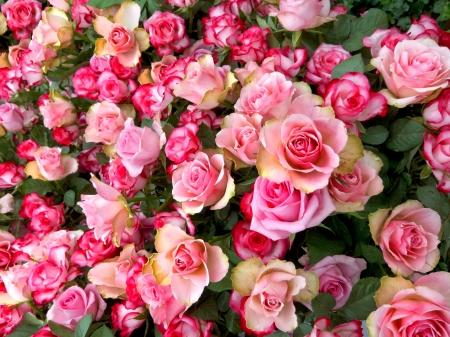 Een boeket van roze rozen. Bloemmotief. Stockfoto