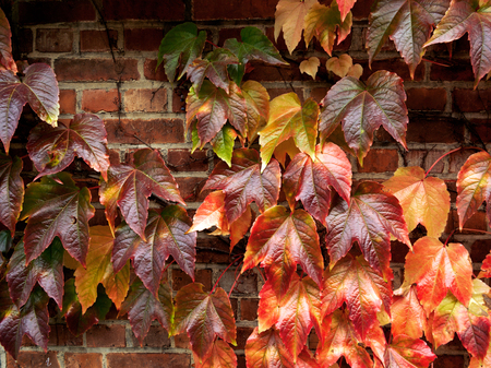 texture twisted: Brick wall of the house overgrown with grape leaves. Abstract background. Autumn. Stock Photo