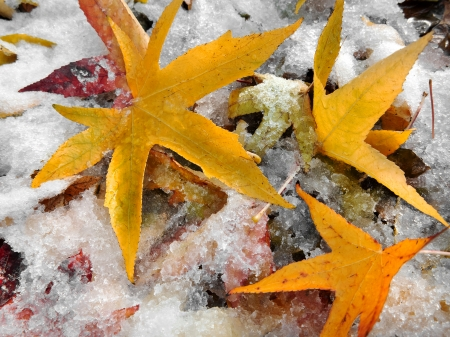 Abstract background of autumn leaves. Autumn background. The first snow. Stock Photo - 23455568