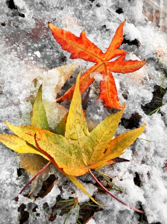 Abstract background of autumn leaves. Autumn background. The first snow. Stock Photo - 23455596