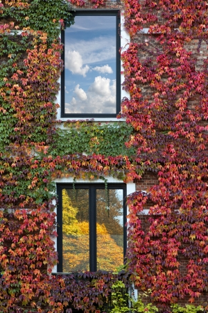 Brick wall of the house overgrown with grape leaves. Abstract background. Autumn. Stock Photo