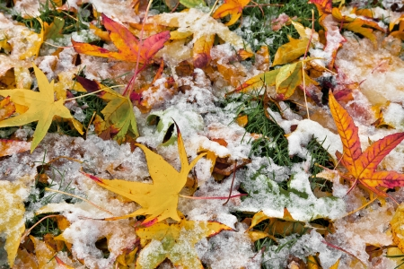 Abstract background of autumn leaves. Autumn background. The first snow. Stock Photo - 23525522