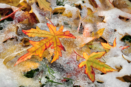 Abstract background of autumn leaves. Autumn background. The first snow. Stock Photo - 23525523