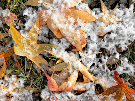 Abstract background of autumn leaves. Autumn background. The first snow. Stock Photo - 23511115