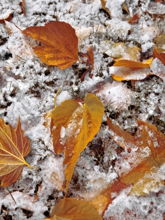 Abstract background of autumn leaves. Autumn background. The first snow. Stock Photo - 23512374