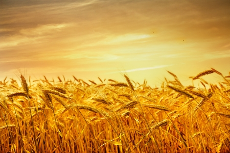 Ripe wheat at sunset. Landscape. Standard-Bild