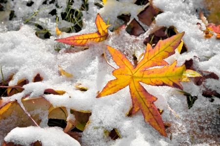 Abstract background of autumn leaves. Autumn background. The first snow. Stock Photo - 23512864