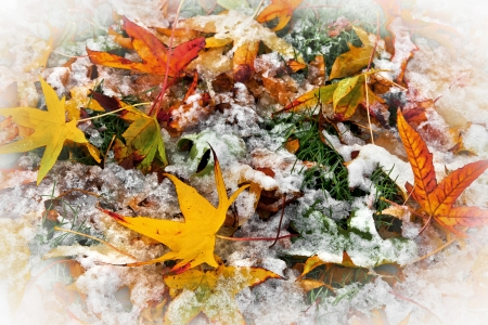 Abstract background of autumn leaves. Autumn background. The first snow. Stock Photo - 23695684