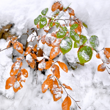 Abstract background of autumn leaves. Autumn background. The first snow. Stock Photo - 24015330
