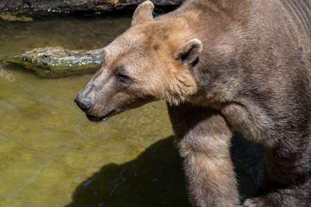 Polar bear - brown bear hybrid  polar bear-grizzly bear hybrid also called grolar bear  pizzly bear  nanulak, rare ursid hybrid