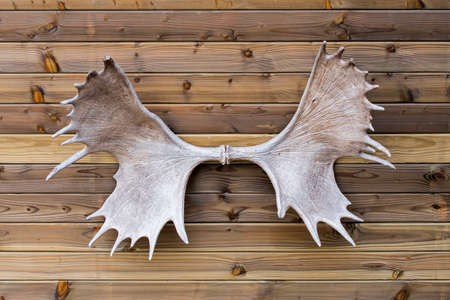 Moose  elk (Alces alces) antlers hanging on wall of wooden cabin