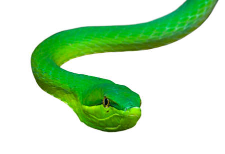 Green vine snake  flatbread snake (Oxybelis fulgidus) native to Central and South America against white background Banco de Imagens