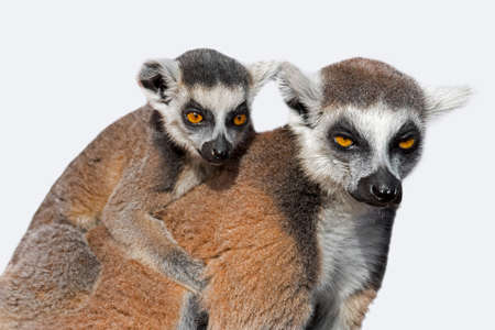 Ring-tailed lemur (Lemur catta) female with young on her back against white background