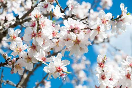 Almond blossom Stock Photo - 19460346