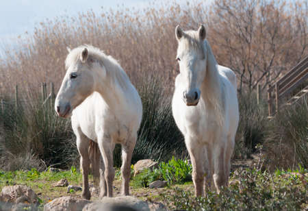 double reed: Two white Camargue horses