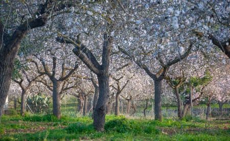 Blossoming almond trees in rural Majorca