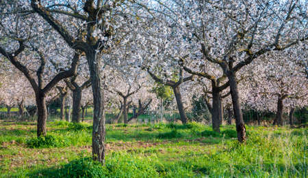 Blossoming almond trees on green grass, Majorca   photo