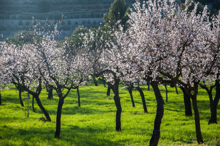 Almond trees in bloom on green grass, rural Majorca   Stock Photo