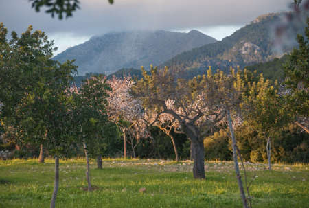 Flowering almond trees and mountain in evening light   photo
