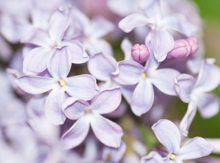 Lilacs with three little buds photo