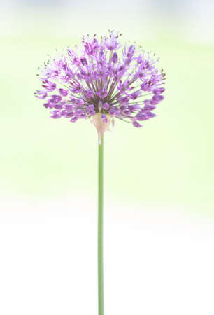 globular: Purple allium solitaire on white and light green