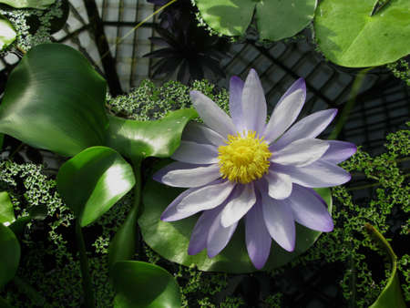 Purple water lily photo