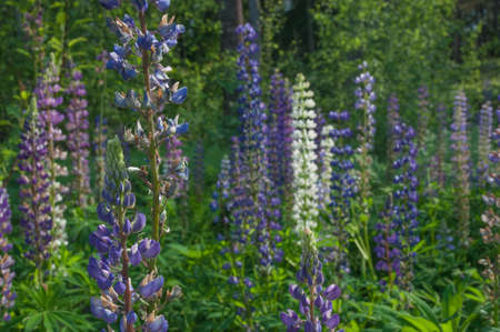 midsummer: Lupines   Canis Lupus  in full bloom by midsummer, Sweden  Stock Photo