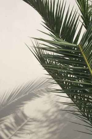 Palm tree branches casting shadows on a white washed wall   写真素材