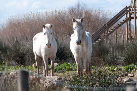 Two white horses looking straight on in the Albufera nature reserve, Majorca, February