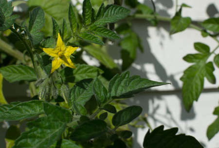Yellow tomato flower and buds on a green bushy plant  photo