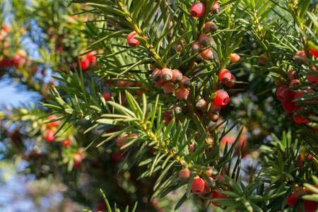 Juniper berries, the taste ingredient in gin, ripening on the bush