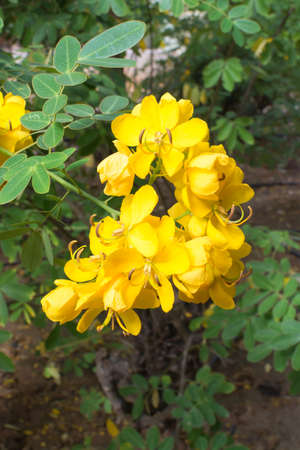 Yellow cassia flower and green foliage  写真素材