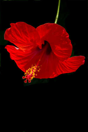 Red hibiscus flower with green stem and yellow petals isolated on black  photo