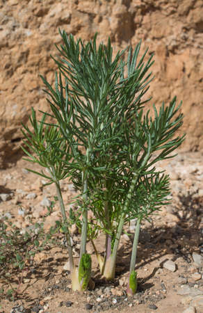killing cancer: The common Mediterranean flowering Thapsia garganica plant weed - the  deadly carrot  in ancient Greek literature This lethal plant is researched for new use  targeting and killing cancer cells